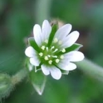 chickweed 2